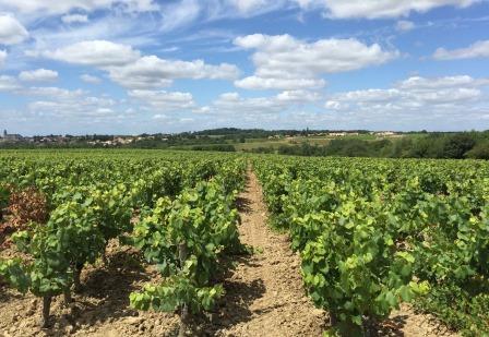 vignes-vin-muscadet-bio